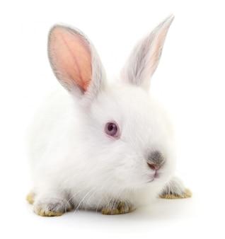 Biały królik.