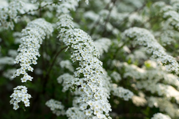 Biały krzak spiraea thunbergii lub thunberg meadowsweet