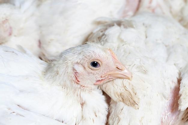 Biały kurczak brojlerów
