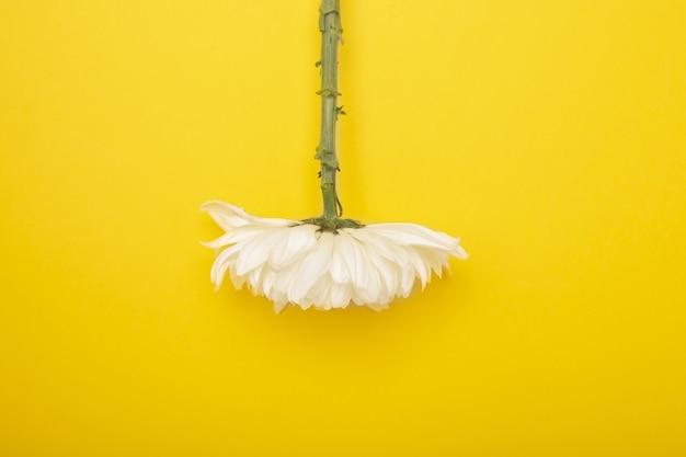 Biały kwiat chryzantemy w pozycji do góry nogami na żółtej ścianie