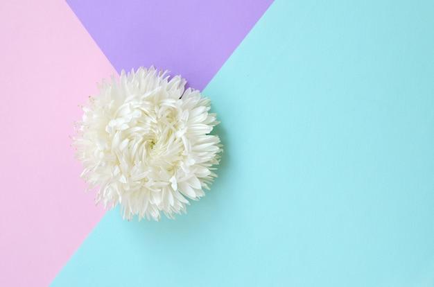Biały kwiat chryzantemy