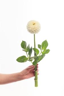 Biały kwiat dalii w kobiecej dłoni