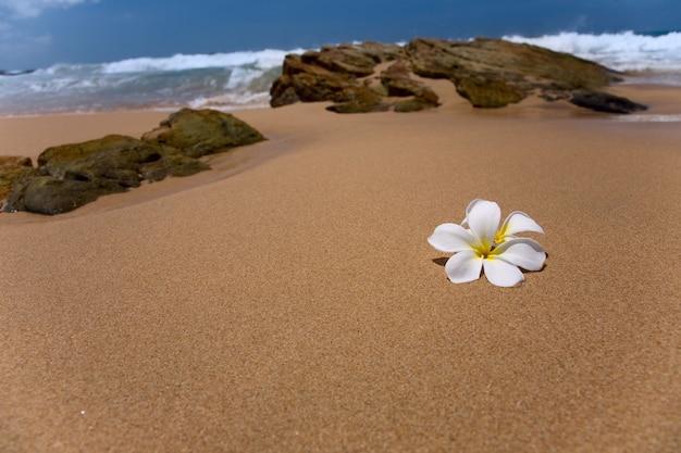 Biały kwiat frangipani na piasku