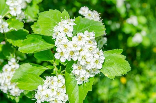 Biały kwiat głogu środkowego kwitnący wiosną