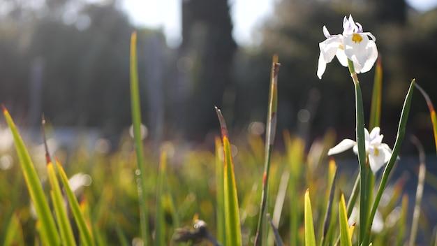 Biały kwiat irysa, ogrodnictwo w kalifornii, usa. delikatny kwiat w wiosennym porannym ogrodzie, krople świeżej rosy na płatkach. wiosenna flora w nieostrości. naturalny botaniczny bliska tło.