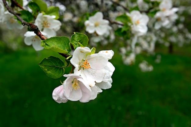 Biały kwiat jabłoni na wiosnę