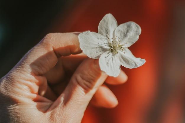 Biały kwiat jabłoni w dłoni. wiosenne kwitnienie drzew.