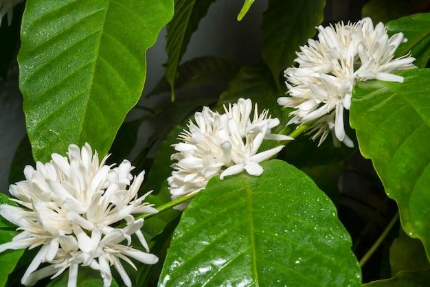 Biały kwiat kawy na drzewie kawy w rozmytym tle ogrodu