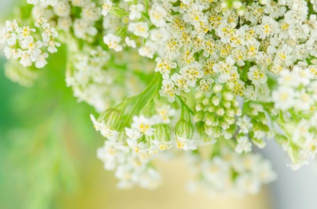 Biały kwiat krwawnika. achillea millefolium z białymi kwiatami