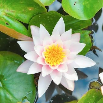 Biały kwiat- lilia wodna z zielonymi liśćmi na stawie