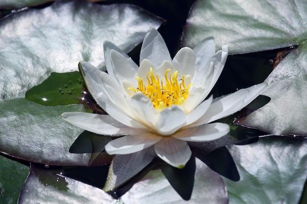 Biały kwiat lilii lotosu z kropli wody
