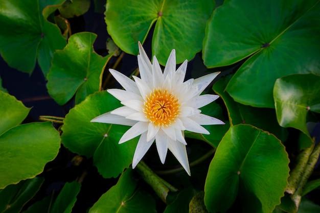 Biały kwiat lotosu i zielone liście w stawie.