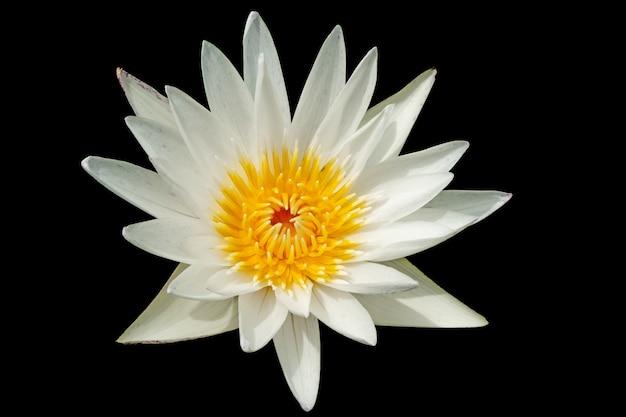 Biały kwiat lotosu lub kwiat lilii wodnej na czarnym tle