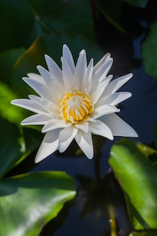 Biały kwiat lotosu piękny lotos.