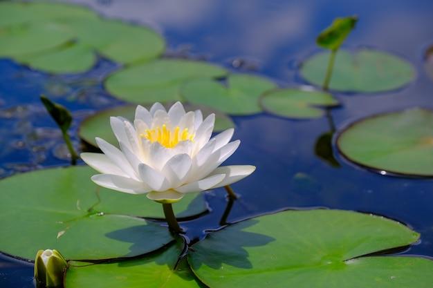 Biały kwiat lotosu w pięknym jeziorze