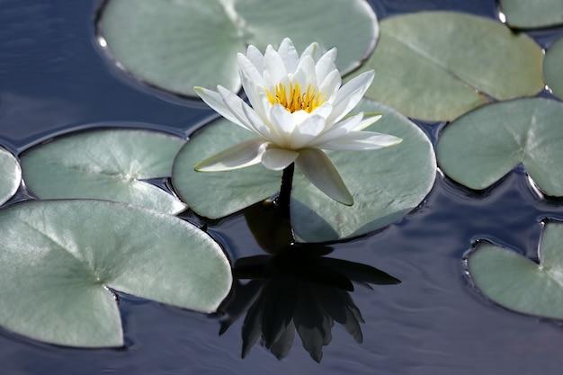 Biały kwiat lotosu z odbiciem na wodzie