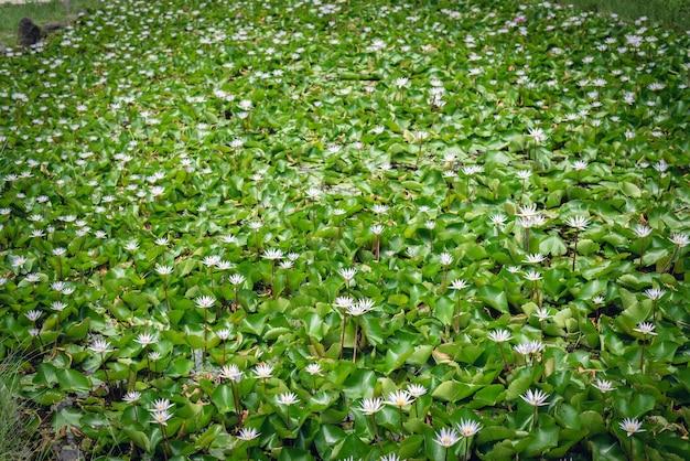 Biały kwiat lotosu z zielonymi liśćmi w gospodarstwie