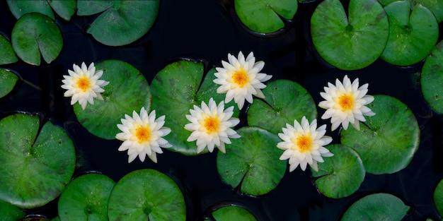 Biały kwiat lotosu
