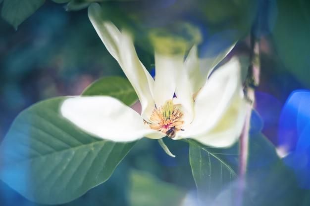 Biały kwiat magnolii z niebieskimi światłami wokół