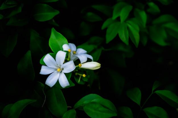 Biały kwiat murraya paniculata