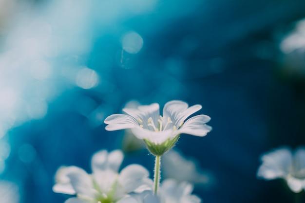 Biały kwiat na niebiesko