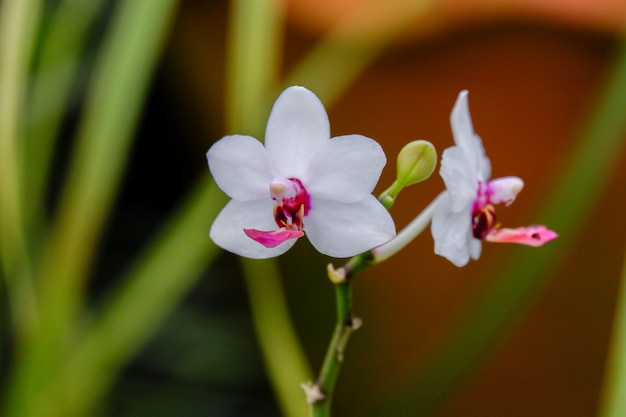 Biały kwiat orchidei phalaenopsis