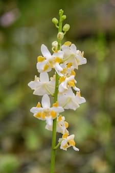 Biały kwiat orchidei