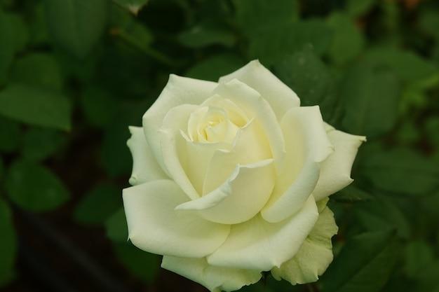 Biały kwiat otwarty bliska