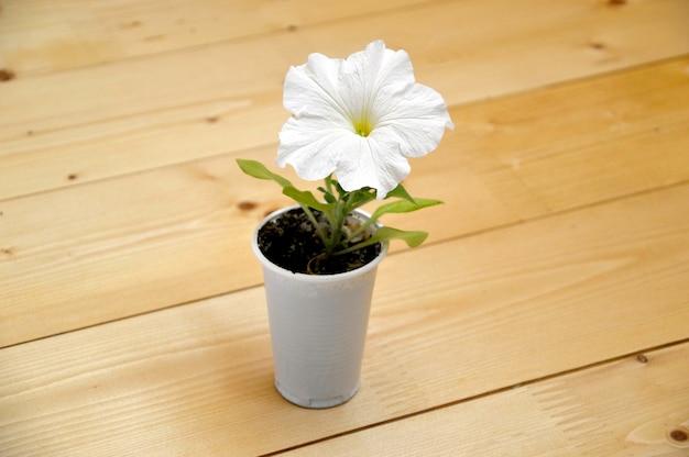 Biały kwiat petunii rosnący w plastikowym kubku