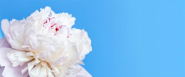 Biały kwiat piwonii na niebiesko, kopia przestrzeń.