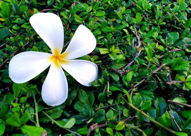 Biały kwiat plumerii na zielonym tle herbaty fukien