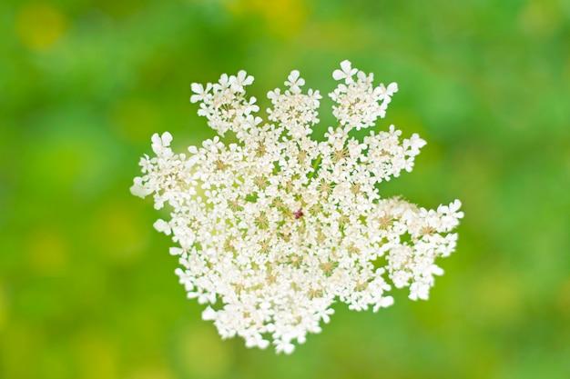 Biały kwiat pole z bliska na pięknej zieleni