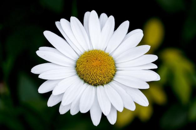 Biały kwiat stokrotki