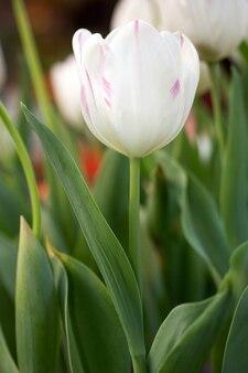 Biały kwiat tulipanów