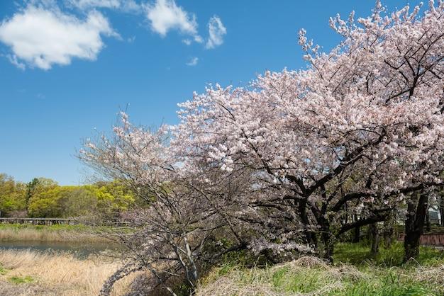 Biały kwiat wiśni lub sakura rozkwitają wokół kanału zamkowego nagoya z błękitnym niebem w sezonie wiosennym, aichi, japonia. słynny punkt orientacyjny podróży w chubu.