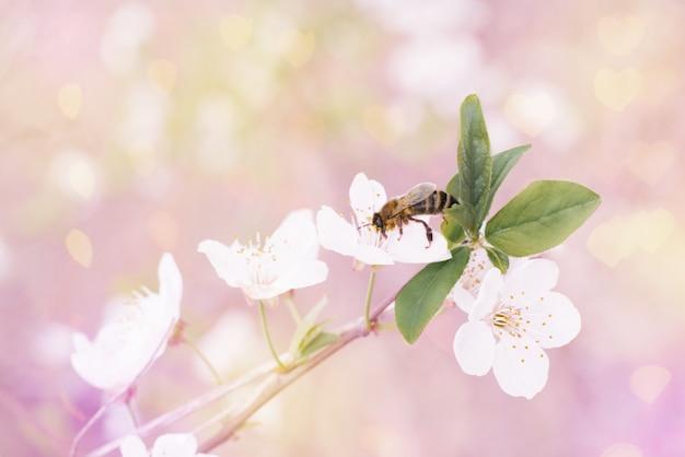 Biały kwiat wiśni lub śliwki i pszczoła na nim w ogrodzie wiosną.