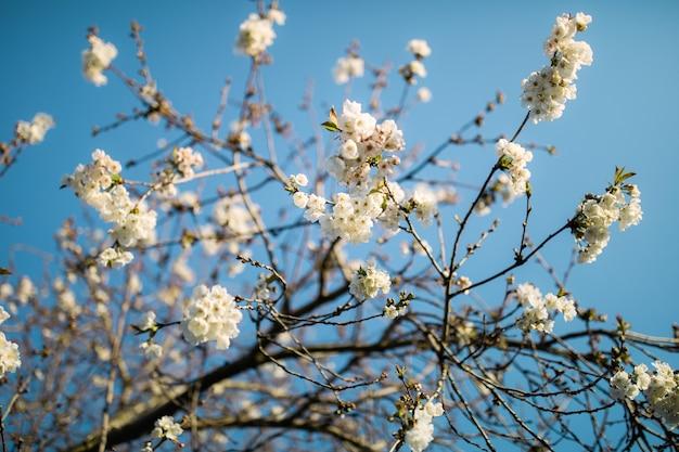 Biały kwiat wiśni w ciągu dnia