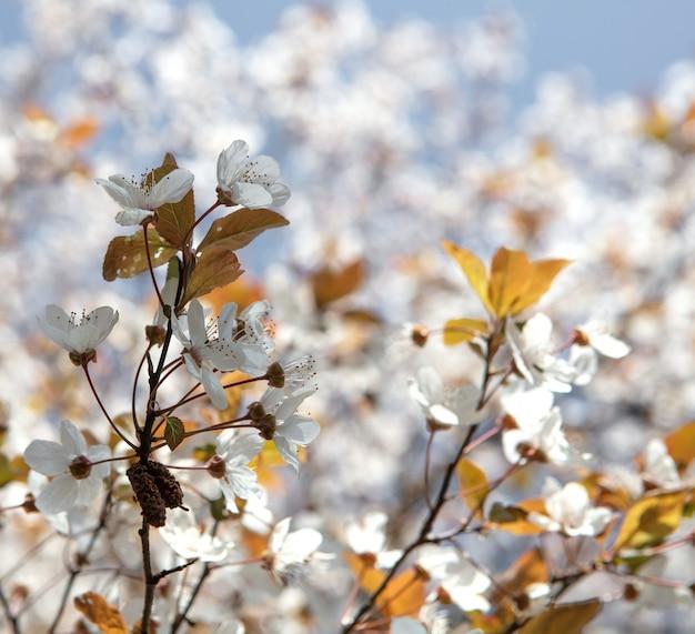 Biały kwiat wiśni w rozkwicie w ciągu dnia