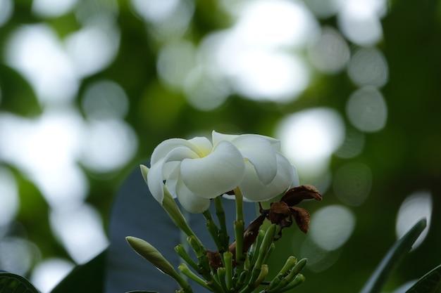 Biały kwiat z nieostre tło
