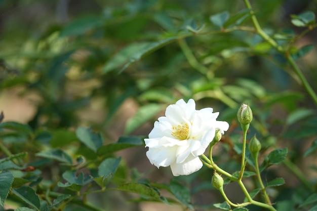 Biały kwiat z niewyraźne tło