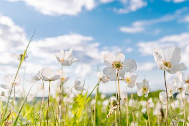 Biały kwiat zawilec w wiosennej łące zielonej trawie pod słońcem na błękitnym niebie z chmurami