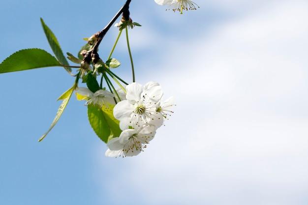 Biały kwiatostan wiśni w wiosenny dzień