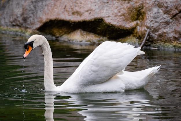 Biały łabędź na jeziorze