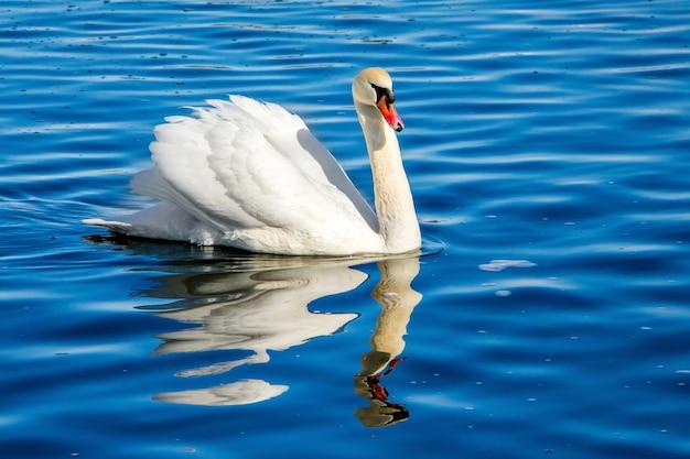 Biały łabędź na niebieskiej wodzie, odbicie ptaka w wodzie