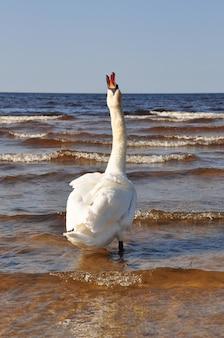 Biały łabędź na pięknym morzu