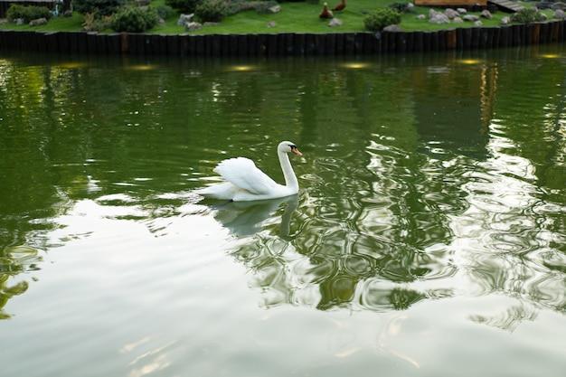 Biały łabędź na powierzchni wody. dziki ptak pływanie na wodzie jeziora
