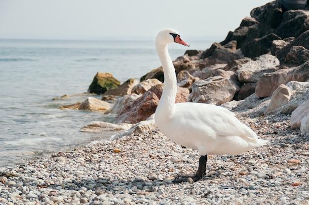 Biały łabędź na skalistym brzegu rzeki