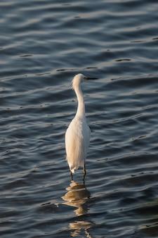 Biały łabędź na wodzie w ciągu dnia