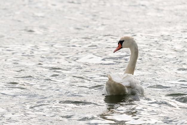 Biały łabędź pływa i szuka pożywienia pod wodą w jeziorze.