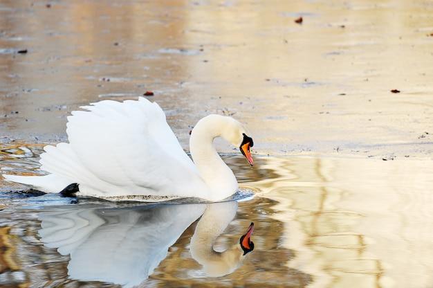 Biały łabędź pływa w jesień stawie